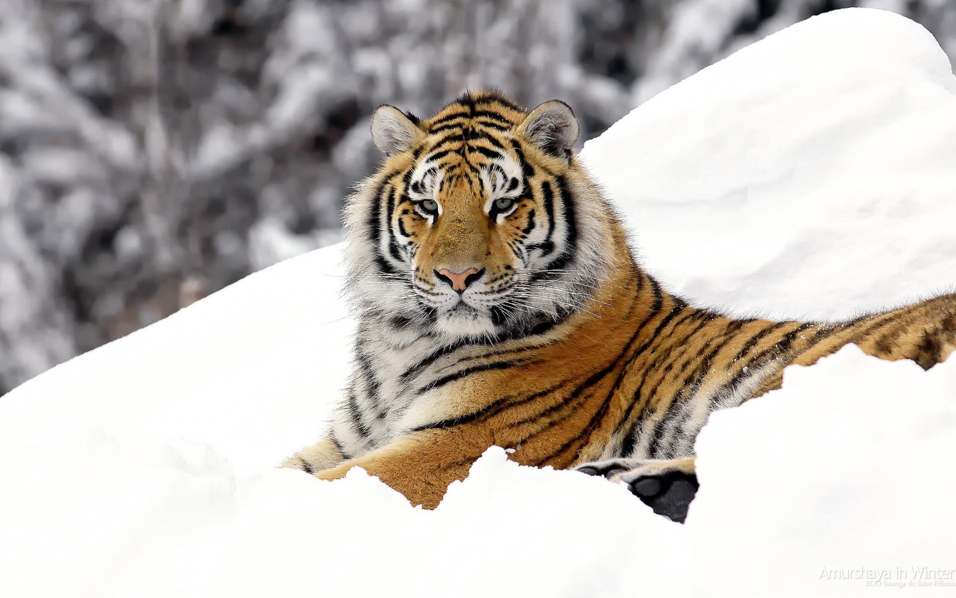 природа животные снег зима ягуар скачать