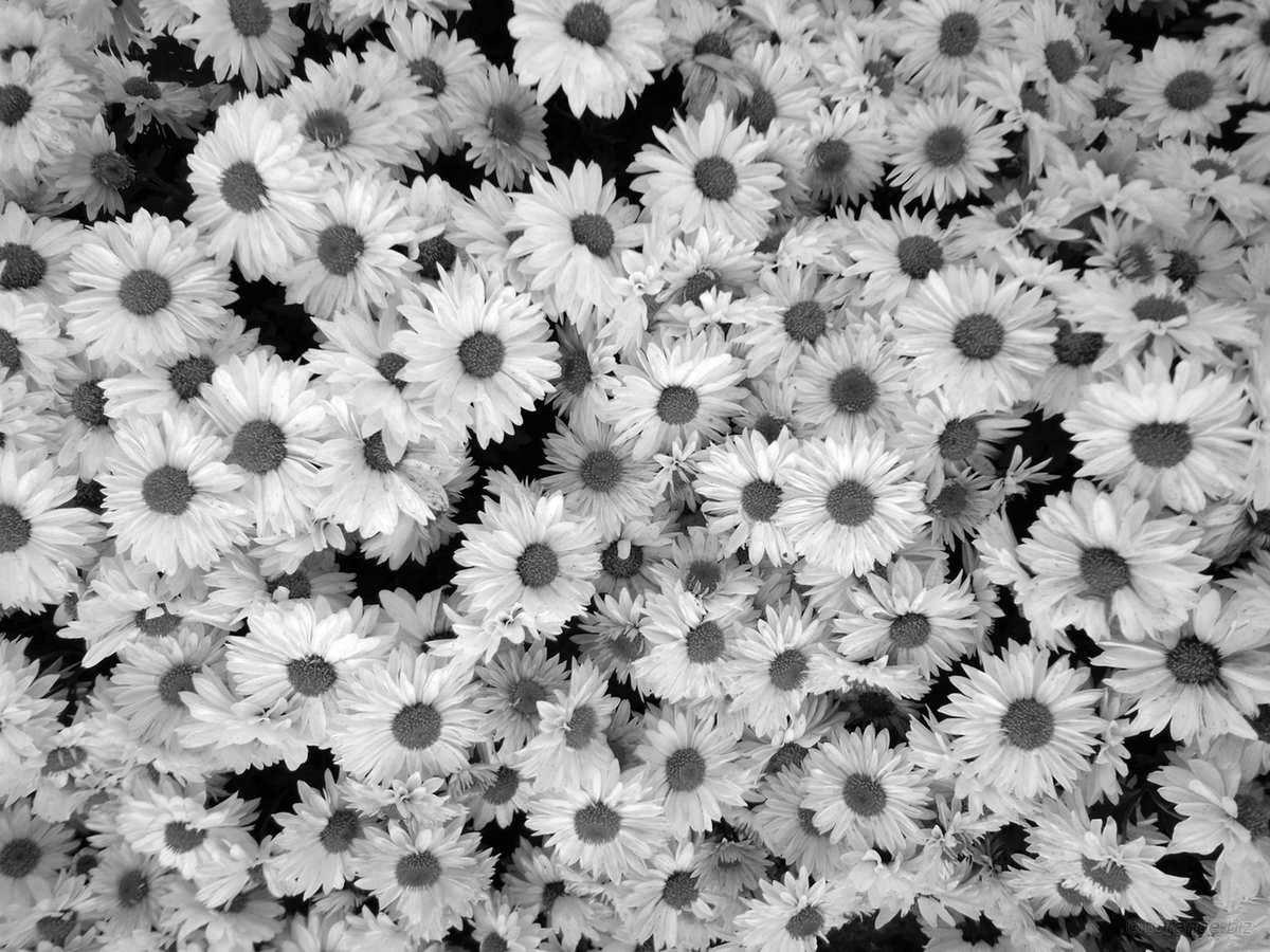 черно-белая ромашка картинка